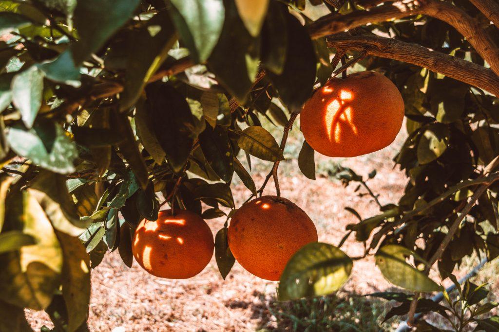 Orangen auf der Plantage